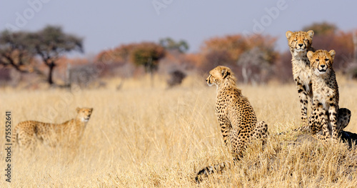 Cheetah cubs on termite mount