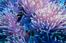 Clownfish And Anemone On A Tro...