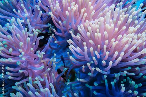 In de dag Koraalriffen Clownfish and anemone on a tropical coral reef
