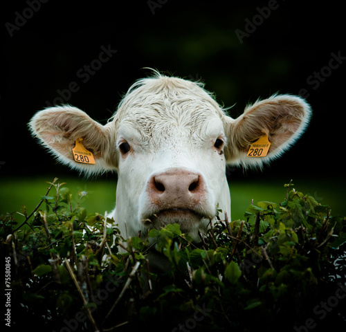 Photo sur Aluminium Vache vache portrait