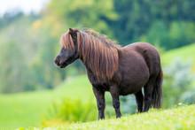 Shetland Pony Standing On Gree...