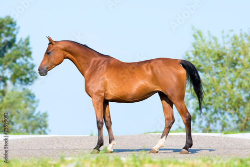 Photo  Bay horse standing on blue sky, conformation.