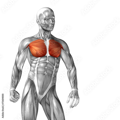 Conceptual 3D anatomy muscle isolated Fototapet