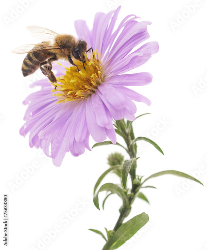 Poster Bee Honeybee and blue flower