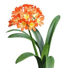 Fleur De Clivia