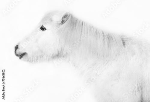 Fotografie, Obraz  weisses pony vor weissem hintergrund