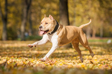 American Staffordshire Terrier Running In The Park In Autumn
