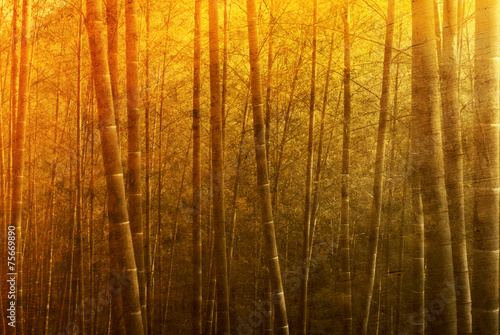 Bamboo Forest Sunset Tranquil Rural Concept