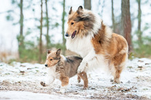 Rough Collie Mother Playing With A Puppy In Winter