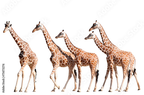 Giraffes Walking Isolated on White Poster