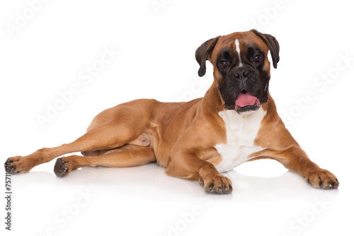 Photo  red german boxer dog lying down