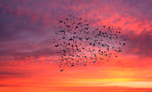 Flock Of Birds Forming A Heart