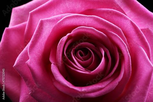 Photo sur Aluminium Macro Beautiful pink rose close-up