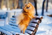 Pomeranian Spitz Posing On A Bench