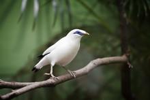 Bali Myna Bird