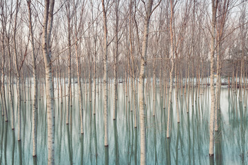 Fototapeta Współczesny Birches in flooded countryside, natural pattern
