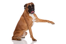 German Boxer Dog Pointing With His Paw