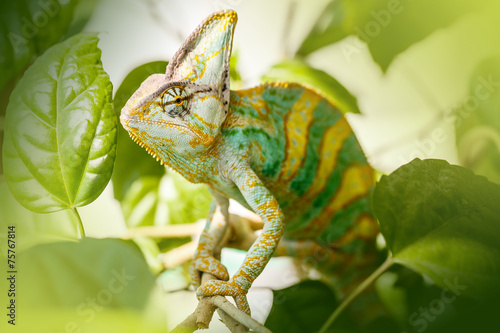 Foto op Canvas Kameleon Yemen chameleon