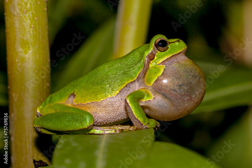 Tuinposter Kikker Croaking European tree frog