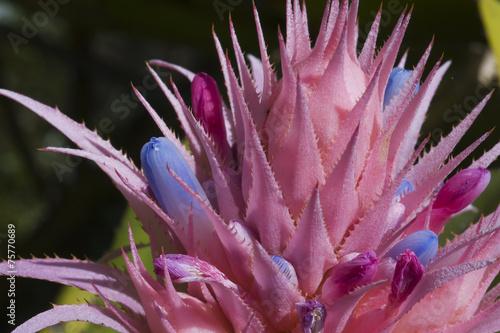 Garden Poster Lotus flower Bromelia vaso-prateado