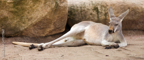 Cadres-photo bureau Kangaroo Red kangaroo