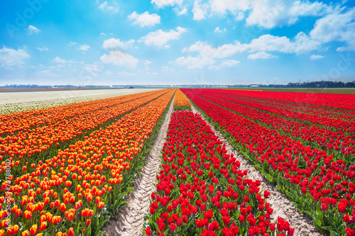 Beautiful rows of red and orange tulip field