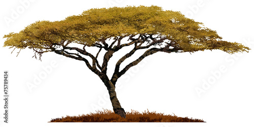 Wallpaper Mural African Acacia tree isolated on white background.