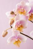 Orchidee na delikatnym różowym tle