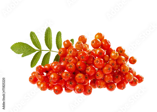 Fotografie, Obraz  rowanberry or ashberry isolated on white background