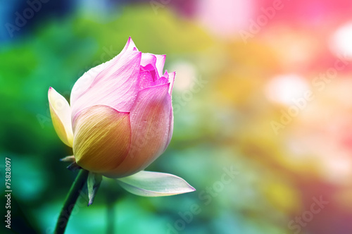 Foto op Canvas Lotusbloem lotus flower blossom in the sunrise