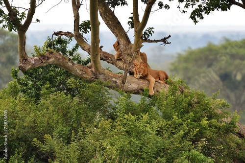 Foto op Plexiglas Leeuw Tree Climbing Lions resting on a tree