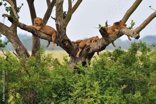 Foto op Plexiglas Leeuw Tree Climbing Lions
