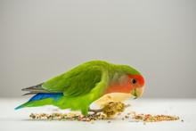 Rosy-faced Lovebird Eating Sca...