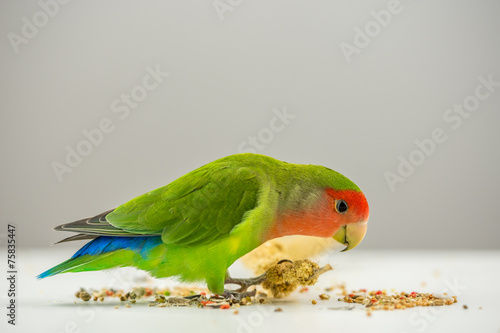 Rosy-faced lovebird eating scattered seeds Wallpaper Mural