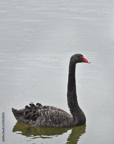 Keuken foto achterwand Zwaan Black Swan