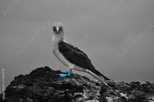 Blue footed bird staring in the Galapagos Islands