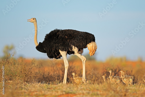 Staande foto Struisvogel Ostrich with chicks in desert landscape