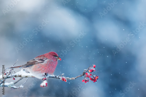 Pine Grosbeak eating frozen rowan berries