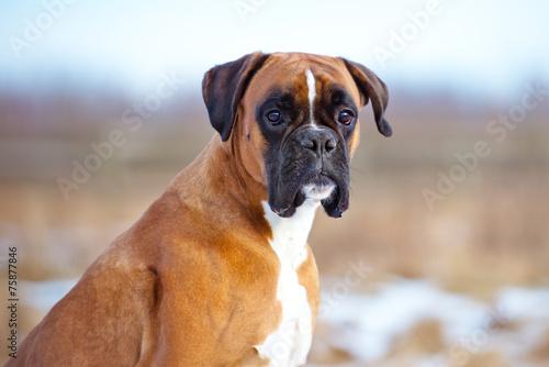 german boxer dog portrait Poster