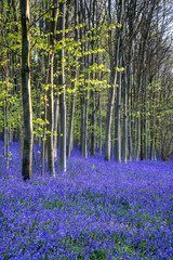 Fototapeta Beautiful morning in Spring bluebell forest with sun beams throu