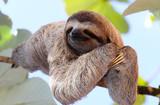 Fototapeta Zwierzęta - Sloth