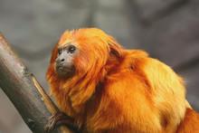 Golden Lion Tamarin Monkey - S...