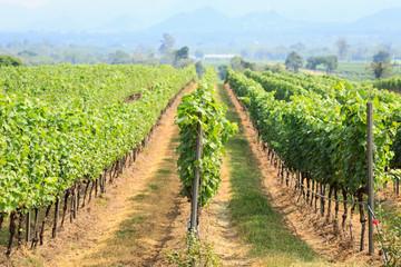 Fototapeta na wymiar vineyard field in Thailand