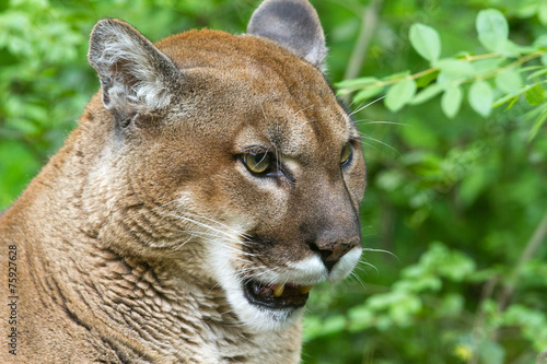Poster Puma Cougar Portrait