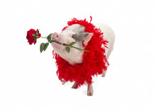 Pig Wearing Boa Holding Rose