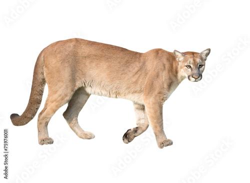 Poster Puma puma isolated