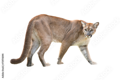 Fotobehang Puma puma isolated