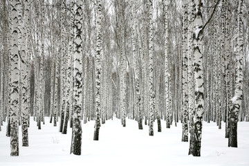 Fototapeta Brzoza Winter birch forest