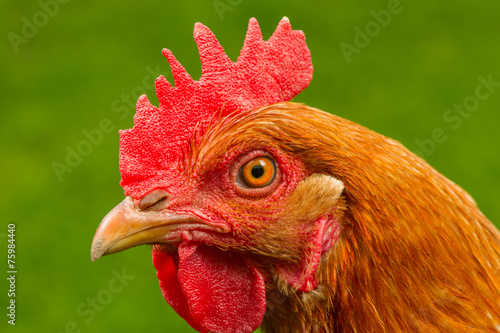 Red Chicken in Profile Close-Up Canvas Print