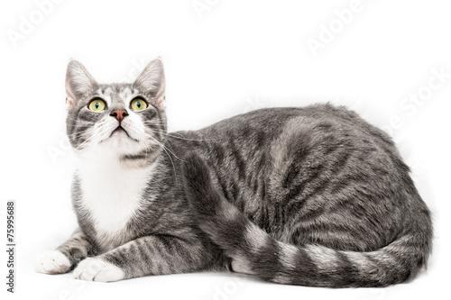 Fotografia Gatto comune europeo isolato su sfondo bianco